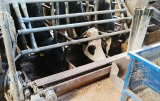 Cows in feeding